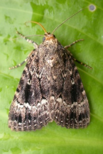 Copper underwing4