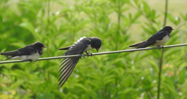 blogswallows