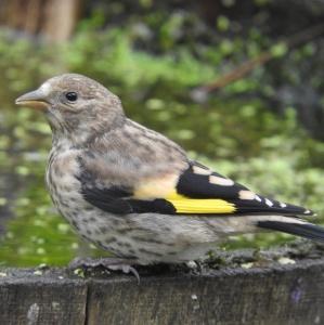 Goldfinchblog